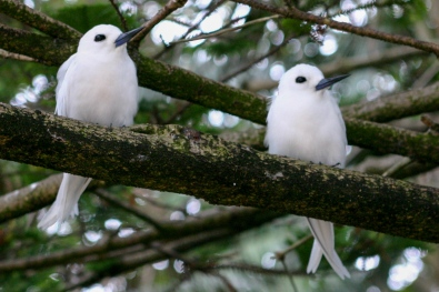 White terns on Lord Howe Island