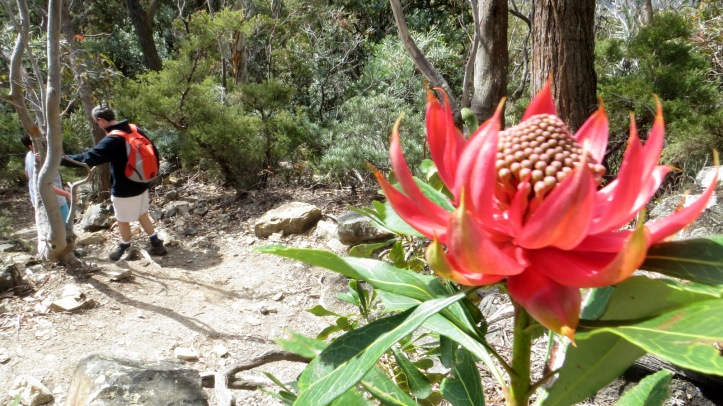 One of may waratahs in flower near Ruined Castle