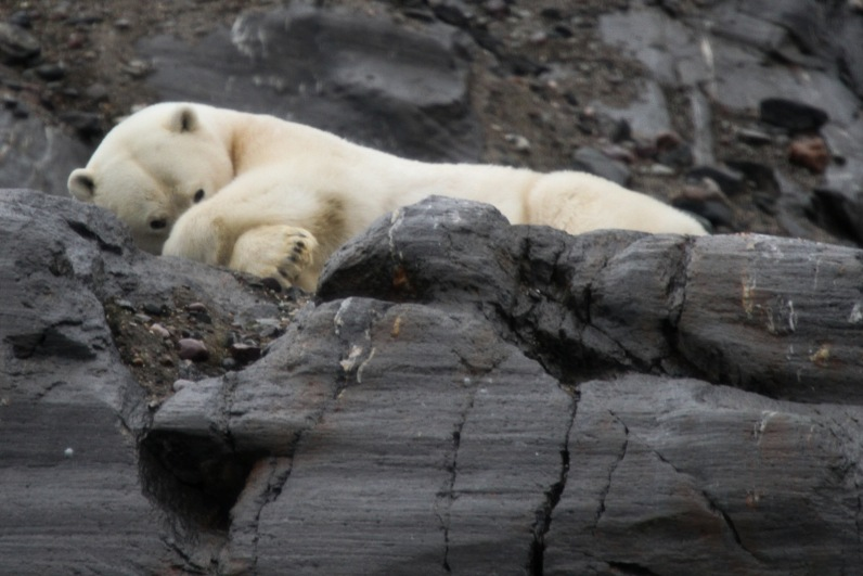 A dozing polar bear on the rocks