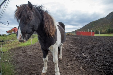 Horse farm with Icelandic horses on Gimsøy
