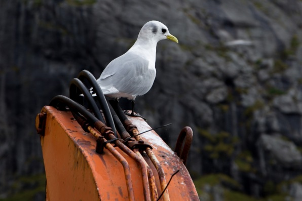 A seagull surveying the Nusfjord harbour