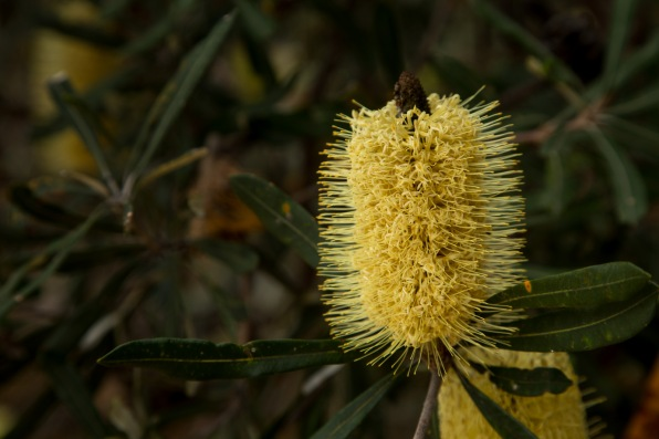 Banksia flowering near the beach