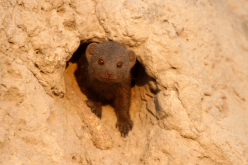 Dwarf mongoose taking residence in a termite mound