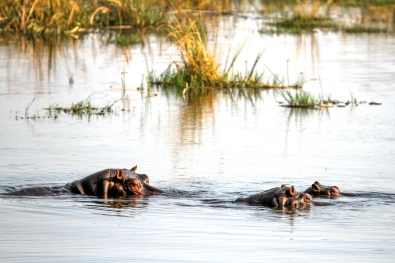 Hippo family in Linyanti River