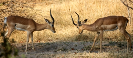 Two male impalas prepare for a fight