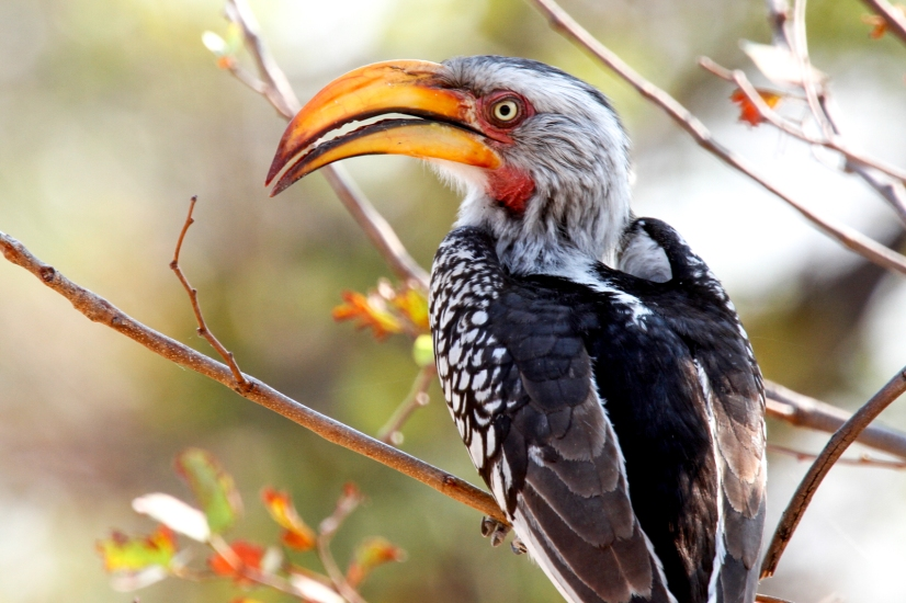 "Yellow-billed hornbill (""Flying Banana"")"