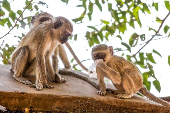 Playful vervet monkeys