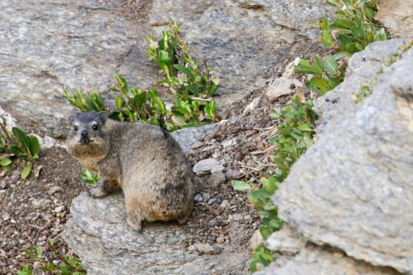 Rock hyrax (Dassie) at N/a'an ku sê (Naankuse) Lodge